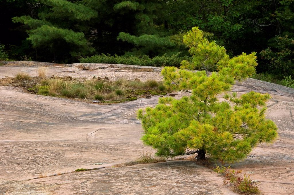 Canadian Shield rock plant community- white pine seedling, ontario, canada : Stock Photo