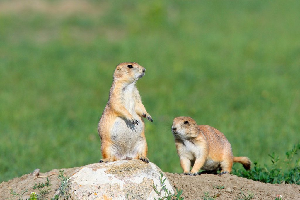 Stock Photo: 1990-37839 Black_tailed prairied dogs at their burrow in Grasslands National Park, Saskatchewan, Canada