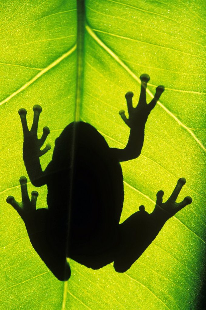 Stock Photo: 1990-3786 Silhouette of an eastern tree frog hyla versicolor clinging to a leaf, walden, ontario, canada