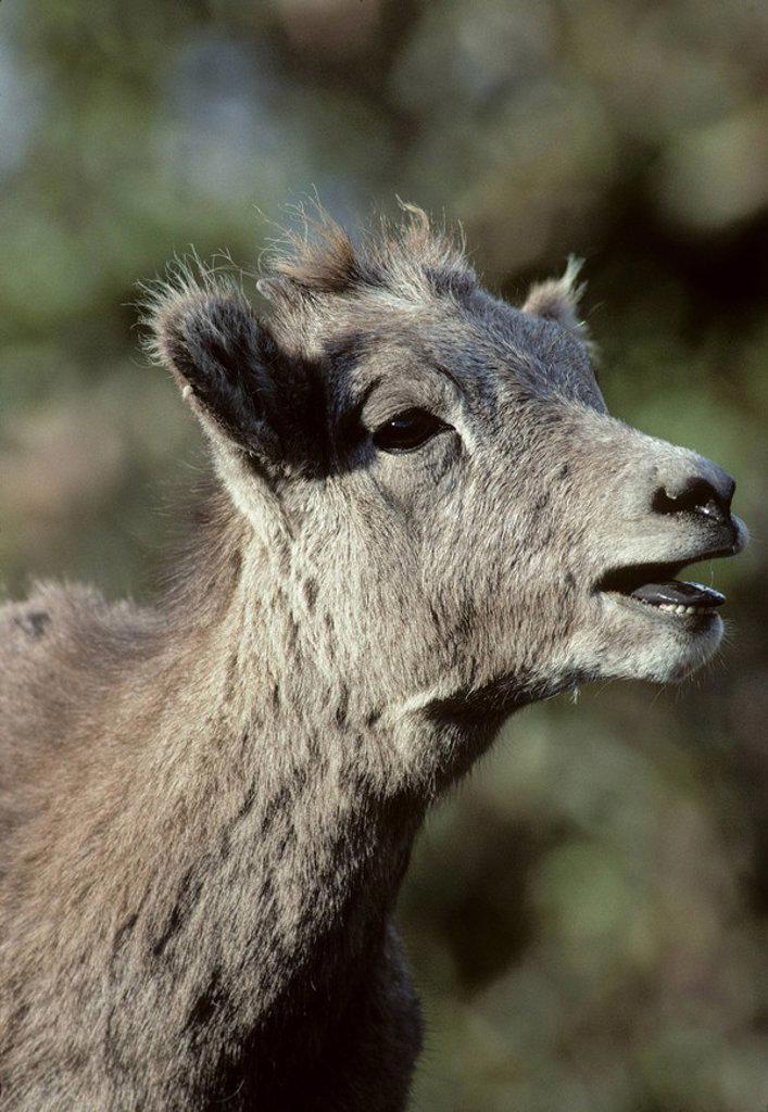 Bighorn Sheep Ovis canadensis Juvenile. Alberta, Canada. : Stock Photo