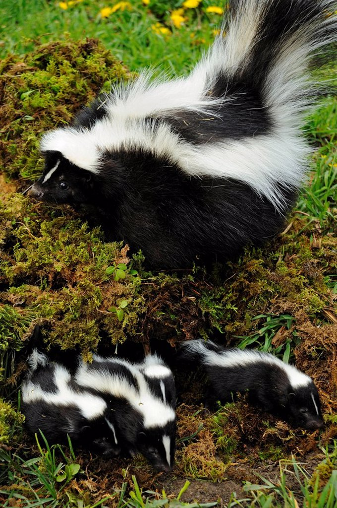 Stock Photo: 1990-38018 Striped Skunk Mephitis mephitis mother with her young. Captive animal