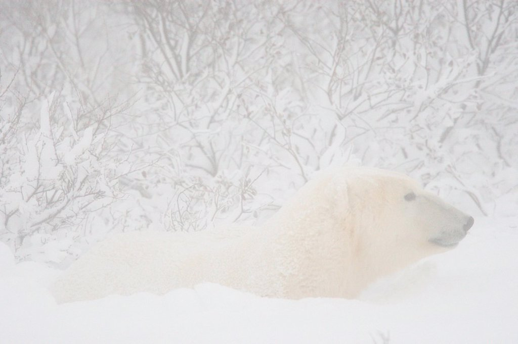 Polar bear in a snow drift : Stock Photo