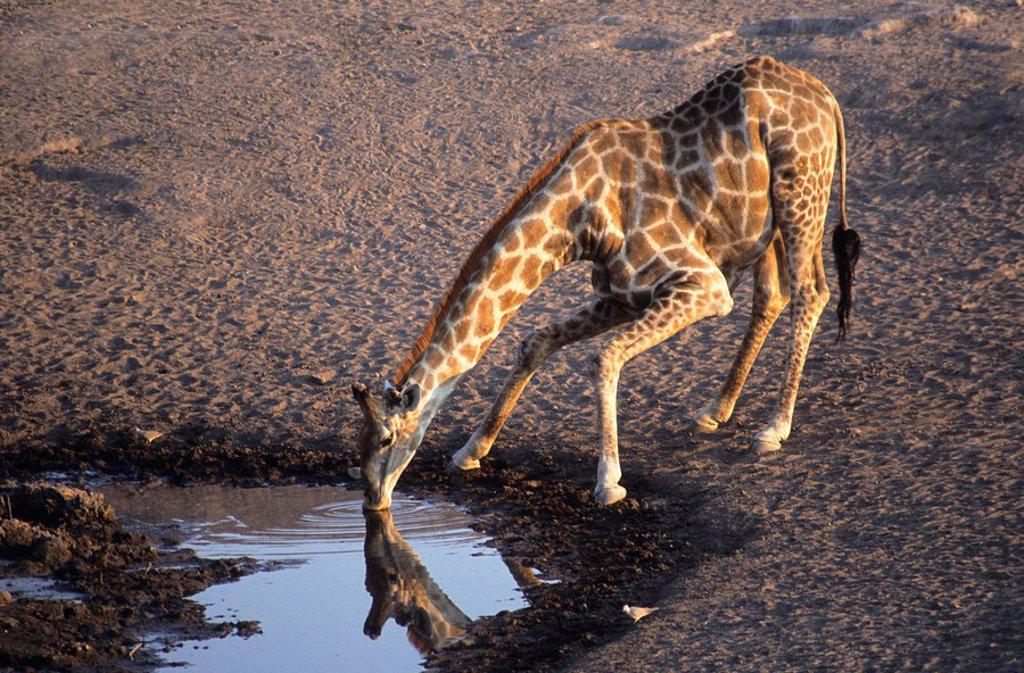 Giraffe Giraffa camelopardalis drinking at a waterhole, Etosha National Park, Namibia, southern Africa : Stock Photo