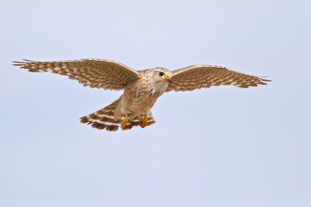 Merlin Falco columbarius flying in Alberta, Canada. : Stock Photo