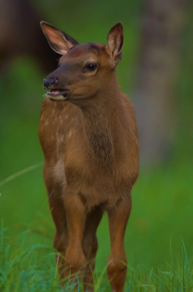 Rocky Mountain Elk calf Cervus elephus standing in the tall grass. : Stock Photo