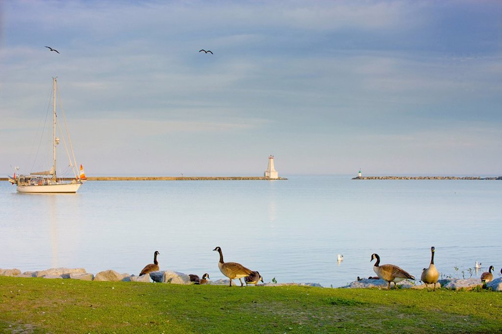 Canada Geese Branta canadensis along the waterfront with sailboat and lighthouse in the background, Cobourg, Ontario, Canada. : Stock Photo