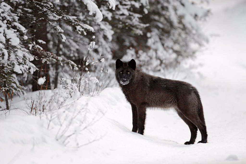 Wild wolf in winter : Stock Photo