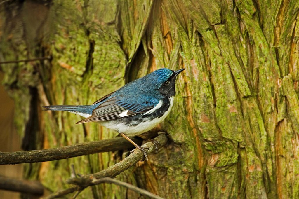 Stock Photo: 1990-39044 Black_throated Blue Warbler Dendroica caerulescens male near Lake Erie shoreline, spring mirgration, North America.