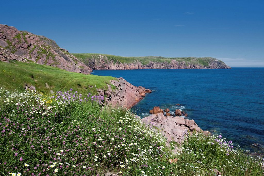 Wildflowers along the rugged coastline of Newfoundland and Labrador, Canada. : Stock Photo