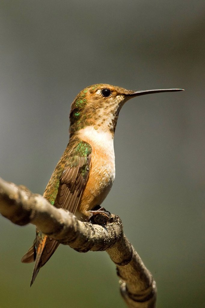 Female rufous hummingbird Selasphorus rufus, Rocky Mountains, Jasper National Park, Alberta, Western Canada : Stock Photo