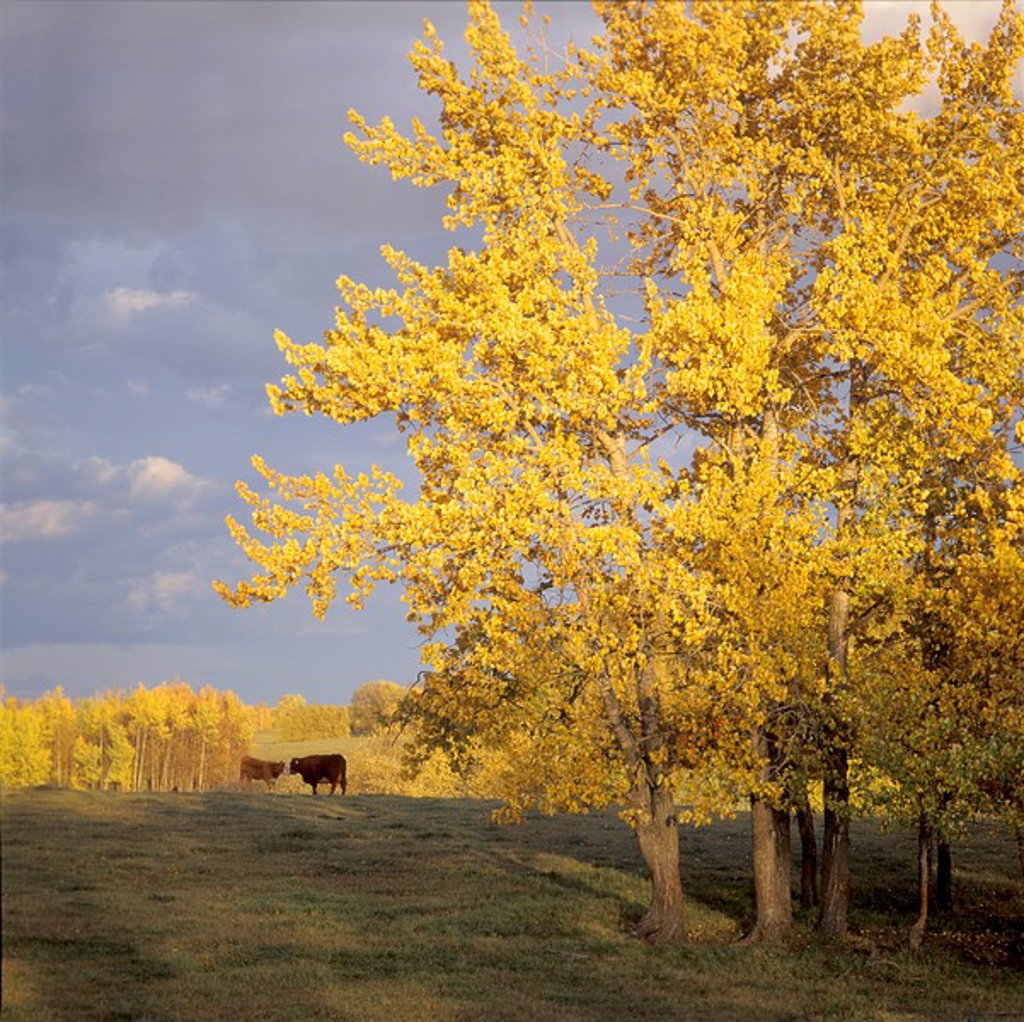 cattle and balsam poplar in the sundown, autumn colors, Stony Plain, Alberta : Stock Photo