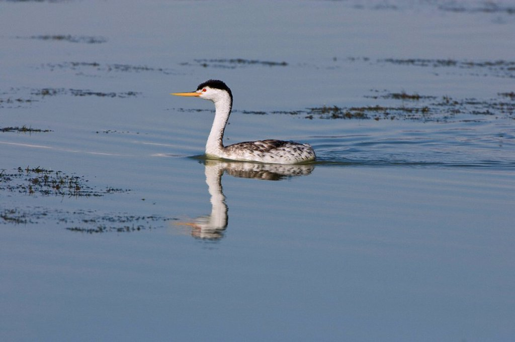 Clark´s grebe Aechmophorus clarkii, adult in breeding plumage, Bear River Migratory Bird Refuge, Utah. : Stock Photo