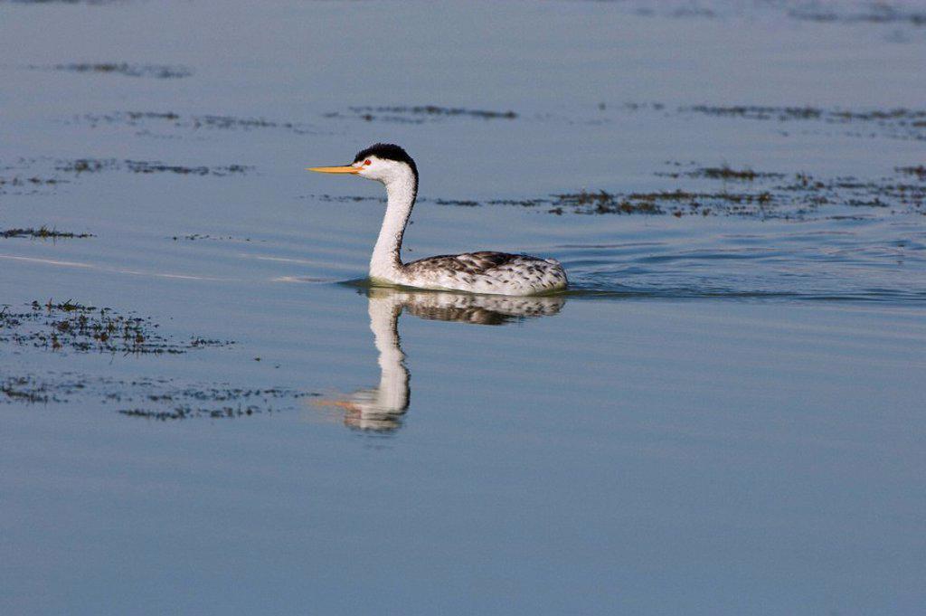 Stock Photo: 1990-39468 Clark´s grebe Aechmophorus clarkii, adult in breeding plumage, Bear River Migratory Bird Refuge, Utah.