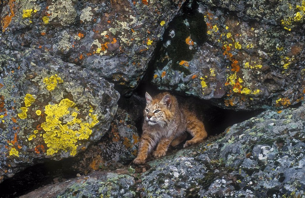 Stock Photo: 1990-39666 Bobcat Lynx rufus emerges from den in bedrock outcrop, Rocky Mountains, North America.