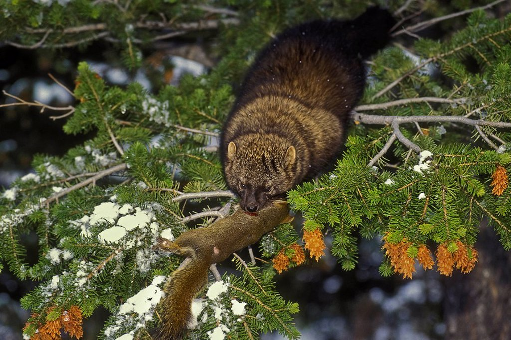 Stock Photo: 1990-39670 Fisher Martes pennanti & red squirrel, winter, Rocky Mountains, North America.