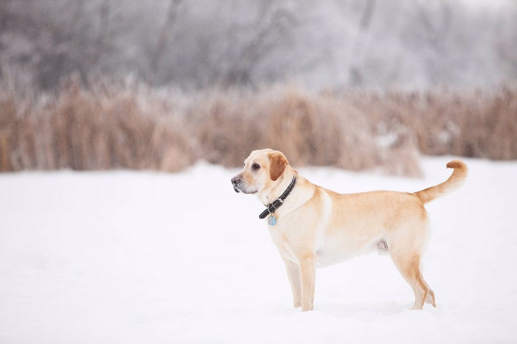 Stock Photo: 1990-39790 Yellow Labrador Retriever standing in a marsh on a frosty winter day. Assiniboine Forest, Winnipeg, Manitoba, Canada.