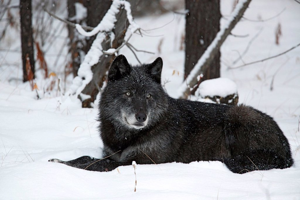 Spirit, leader of the Pipestone family of wolves in Banff National Park. Wolf Canis lupus : Stock Photo