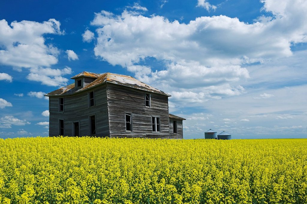 abandoned farm house in canola field with cumulus clouds in the sky, near Torquay, Saskatchewan, Canada : Stock Photo