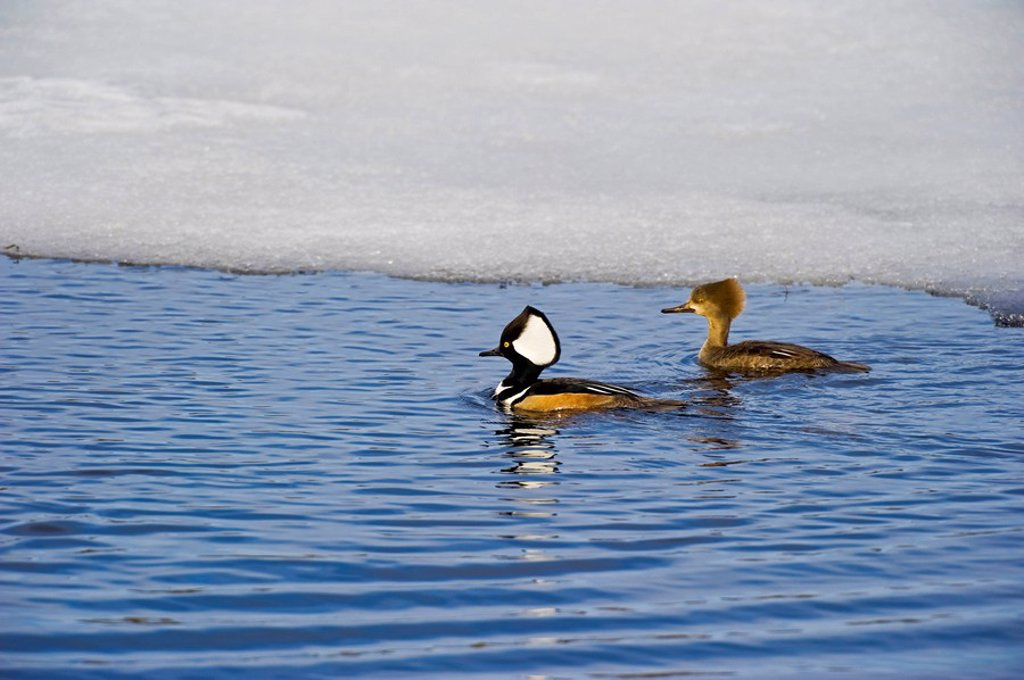 Hooded Merganser Lophodytes cucullatus male and female breeding pair, late March, North America. : Stock Photo