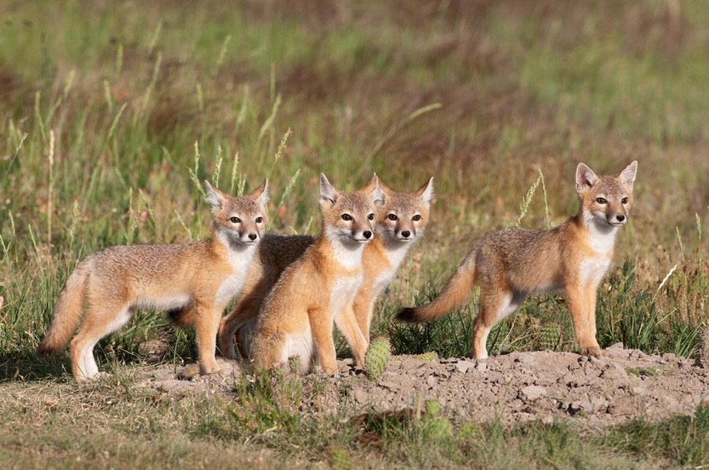 Swift fox Vulpes velox, kits at den, near Pawnee National Grassland, Colorado. : Stock Photo
