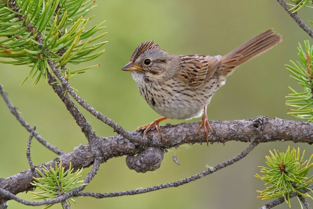 Lincoln´s Sparrow Melospiza lincolnii perched on a branch in the boreal forest of Saskatchewan, Canada. : Stock Photo