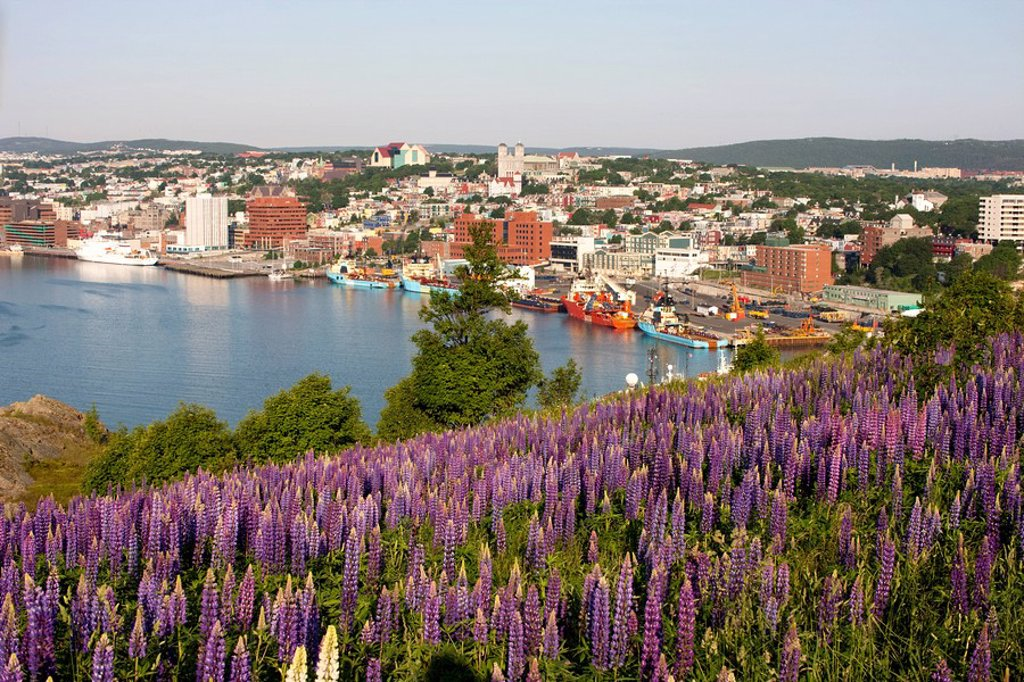 View of St. John´s Harbour with lupines Lupinus perennis in foreground on Signal Hill National Historic Site, St. John´s, Newfoundland and Labrador, Canada. : Stock Photo