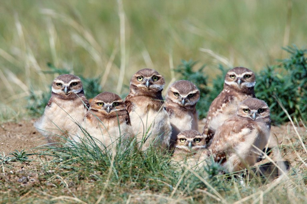 Burrowing owl Athene cunicularia chicks at their nest cavity or den or burrow. Burrowing owls are an endangered species in Canada. : Stock Photo