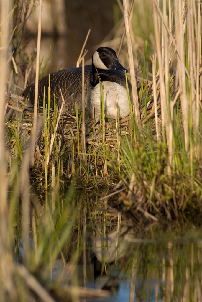 Canada Goose sitting on its nest : Stock Photo