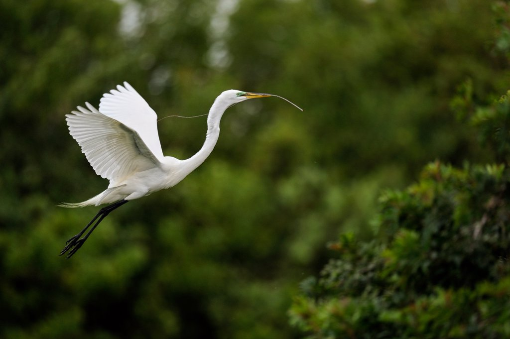 Great egret Casmerodius albus, Ardea alba, Egretta alba in flight, Venice Area Audubon Society Rookery, Vencie, Florida, United States of America : Stock Photo