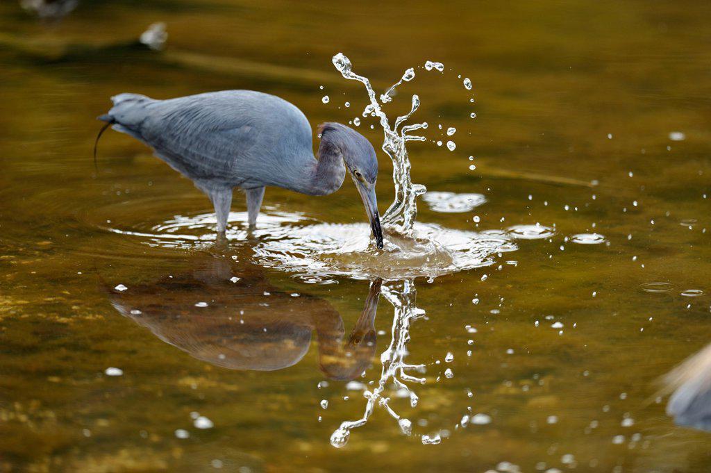 Little blue heron Egretta caerulea Hunting, J. N. ´Ding´ Darling National Wildlife Refuge, Sanibel, Florida, United States of America : Stock Photo