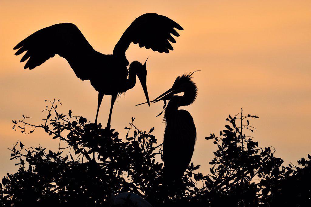 Great blue heron Ardea herodias Stick Nest construction and pair bonding behaviour, Venice Area Audubon Society Rookery, Vencie, Florida, United States of America : Stock Photo