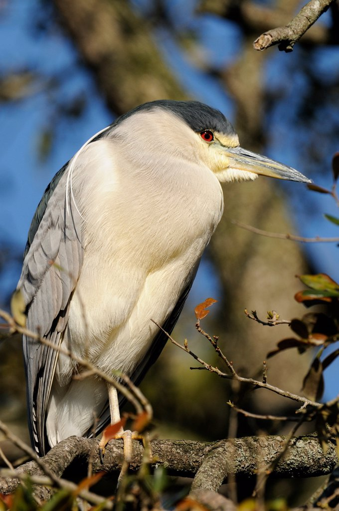 Stock Photo: 1990-41659 Black crowned night heron Nycticorax nycticorax, St. Augustine Alligator Farm Zoological Park, Florida, United States of America