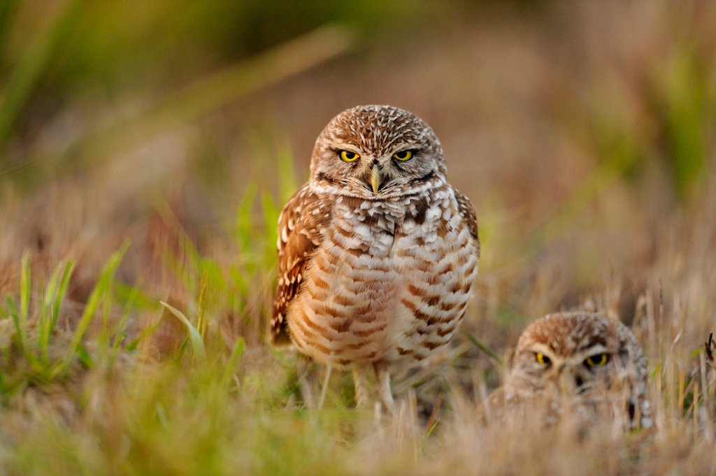 Burrowing owl Athene cunicularia Adults near nest in residential area : Stock Photo