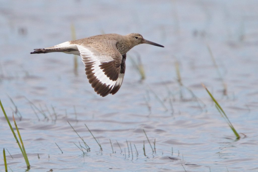 Willet Catoptrophophorus semipalmatus flying over a small pond : Stock Photo