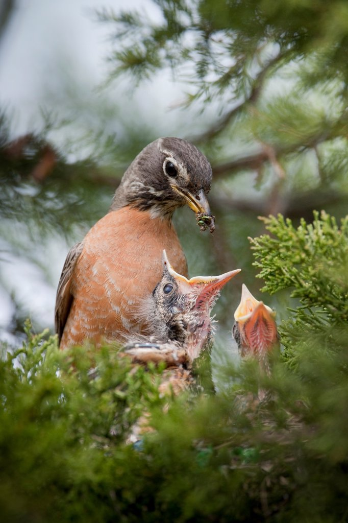 Stock Photo: 1990-41750 An American Robin Turdus migratorius feeding its young hatchlings in the nest an insect in a cedar tree in Rondeau Provincial Park, Ontario, Canada