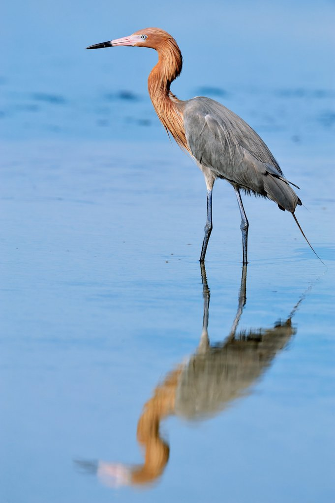 Reddish egret Egretta rufescens Hunting : Stock Photo