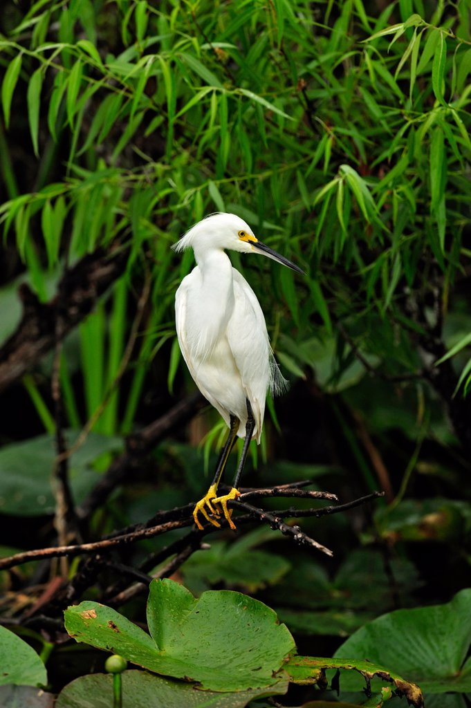 Snowy egret Egretta thula Watching for prey, Everglades National Park, Florida, United States of America : Stock Photo