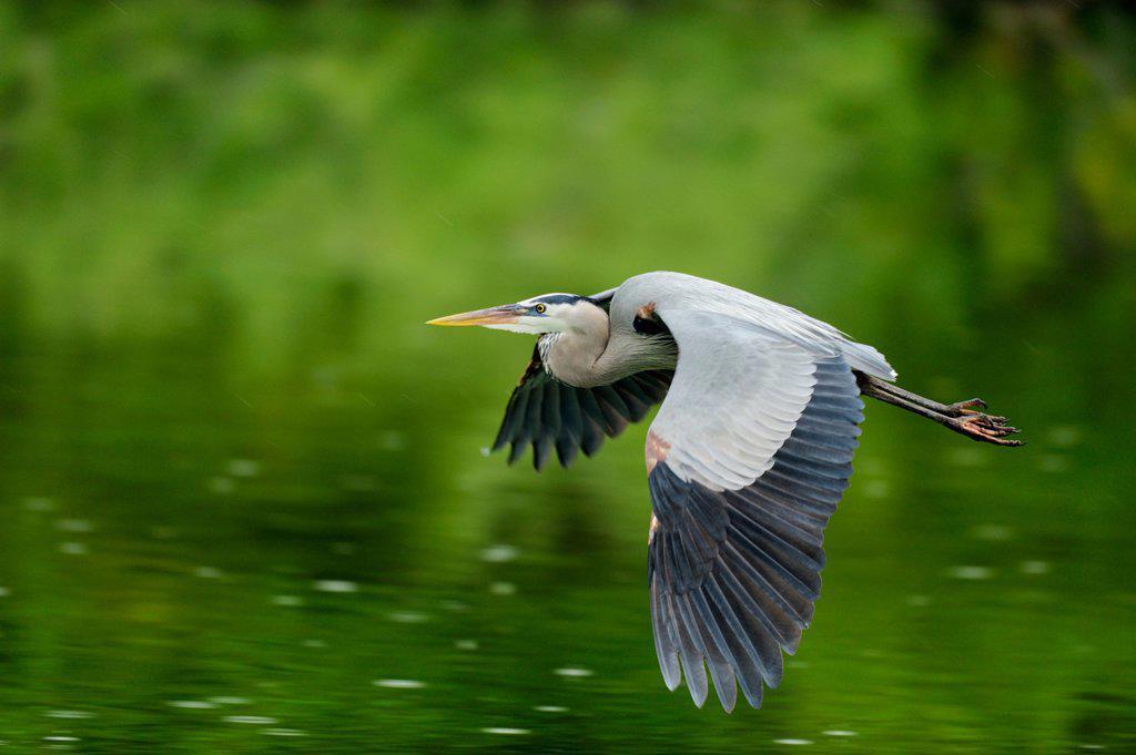 Great blue heron Ardea herodias Flying off to gather nest material, Venice Area Audubon Society Rookery, Vencie, Florida, United States of America : Stock Photo