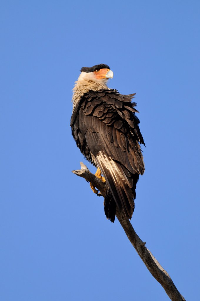 Crested Caracara Caracara cheriway Sentinel near nested, Kissimmee Prairie Preserve State Park, Florida, United States of America : Stock Photo