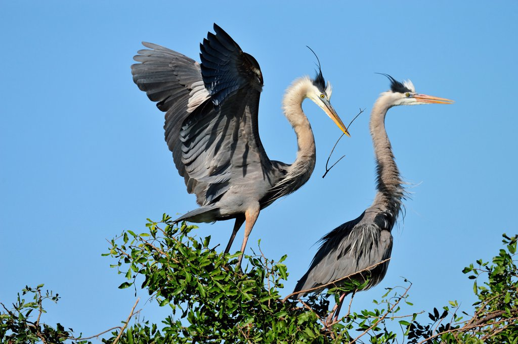 Great blue heron Ardea herodias Stick Nest construction and pair bonding behaviour, Venice Area Audubon Society Rookery, Vencie, Florida, United States of America : Stock Photo