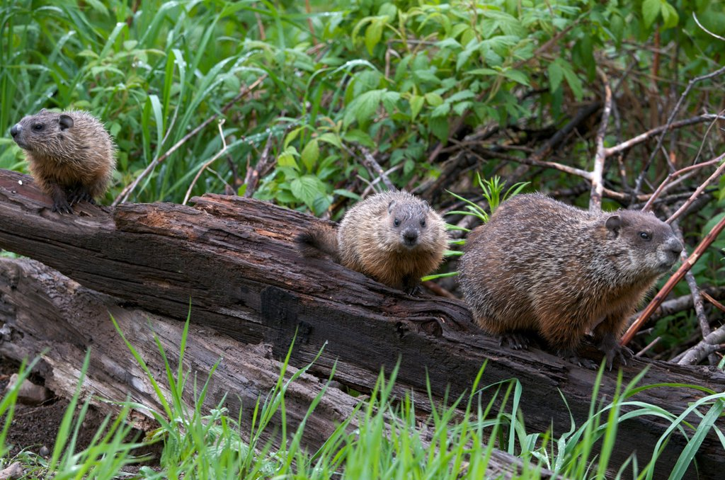 Mother Groundhog Marmota monax, also known as a woodchuck or whistle_pig, with two of her young following her, South Gillies, Ontario, Canada. : Stock Photo