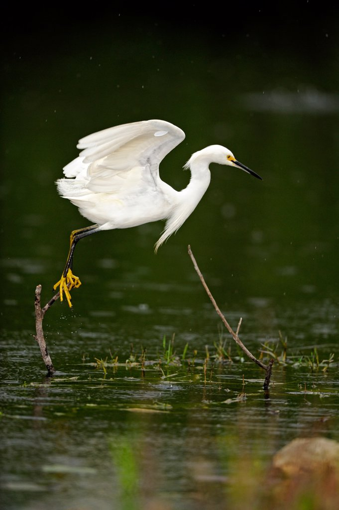 Snowy egret Egretta thula Hunting in slough, Everglades National Park, Florida, United States of America : Stock Photo