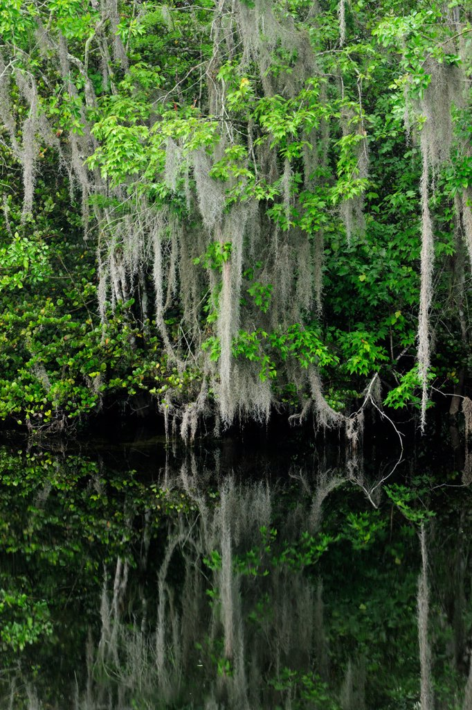 Spanish moss and trees reflected in the Turner River, Florida, United States of America : Stock Photo
