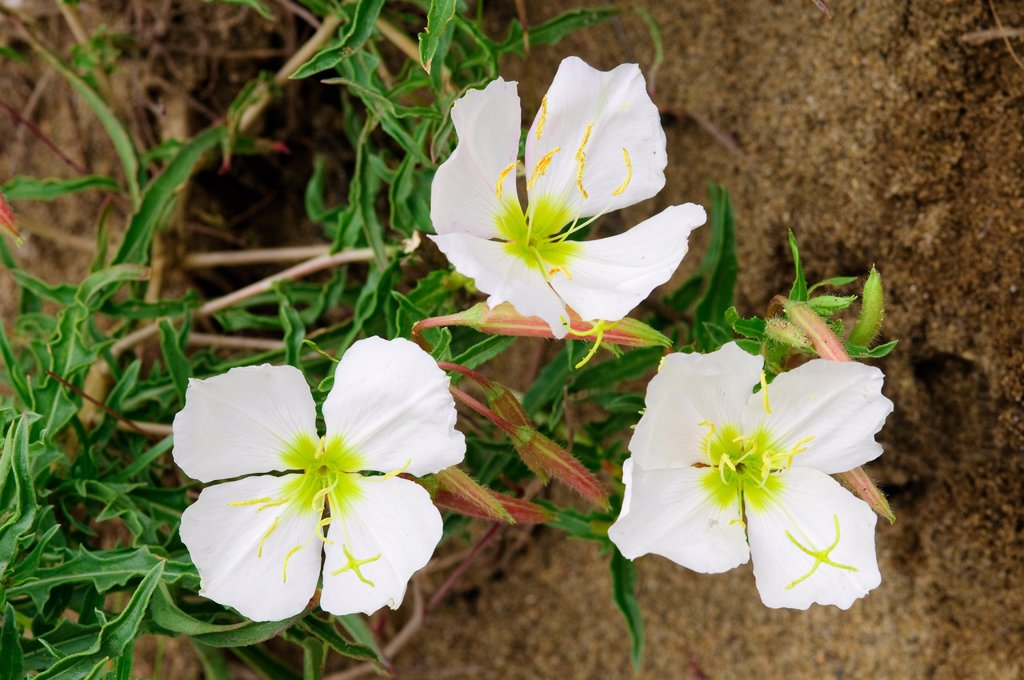 Pale evening_primrose Oenothera pallida, southern Okanagan Valley, British Columbia : Stock Photo