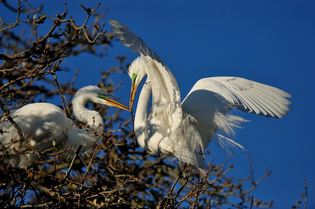 Great egret Casmerodius albus, Ardea alba, Egretta alba Constructing stick nest, St. Augustine Alligator Farm Zoological Park, Florida, United States of America : Stock Photo