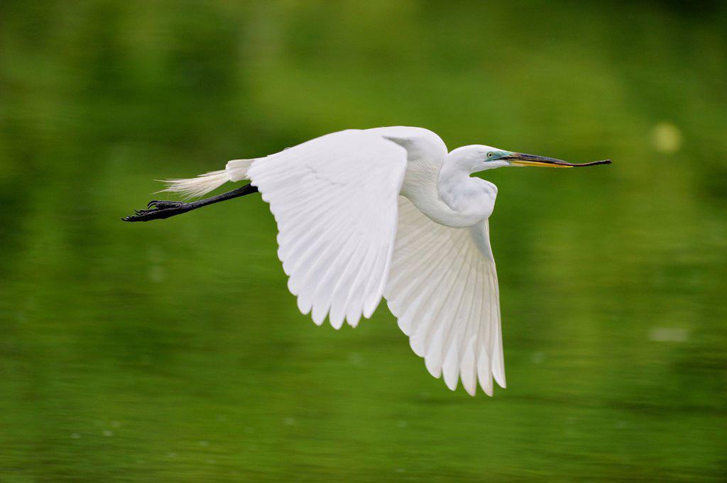 Stock Photo: 1990-42183 Great egret Casmerodius albus, Ardea alba, Egretta alba in flight, Venice Area Audubon Society Rookery, Vencie, Florida, United States of America