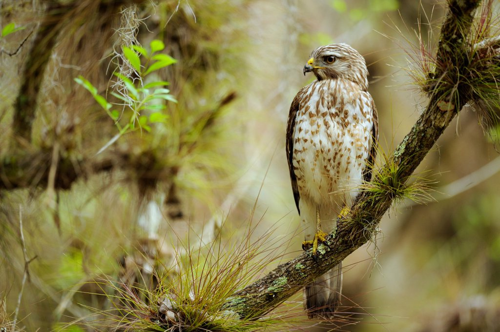 Red shouldered hawk Buteo lineatus Myakka River State Park, Florida, United States of America : Stock Photo