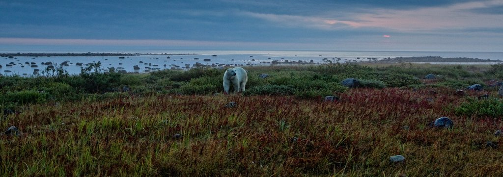 Stock Photo: 1990-42199 Panoramic view of Polar bear on tundra at dawn on the shore of Hudson´s Bay, Manitoba.