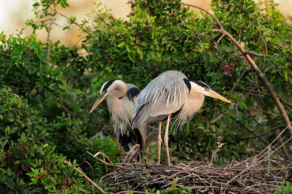 Great blue heron Ardea herodias Pair bonding behaviour at nest site, Venice Area Audubon Society Rookery, Vencie, Florida, United States of America : Stock Photo