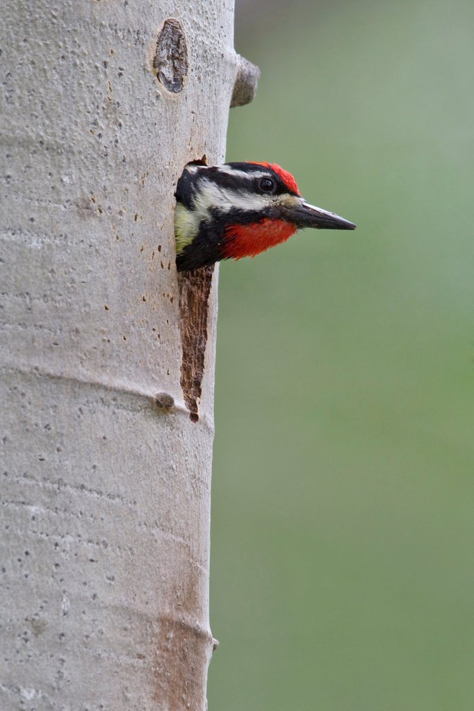 Stock Photo: 1990-42350 Red_naped Sapsucker Sphyrapicus nuchalis perched on a tree at its nest hole